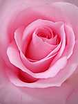 Rózsaszín tökéletesség (id: 18565) vászonkép