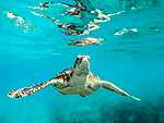 Barna tengeri teknős, Barbados (id: 17866) tapéta