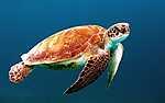 Tengeri teknős, Földközi tenger (id: 17867) poszter