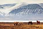 Legelésző vadlovak, Izland (id: 19567) többrészes vászonkép