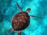 Barna tengeri teknős, Indiai óceán (id: 17869) falikép keretezve