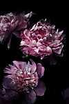 Lila virágok (id: 18569)