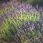 Lavender (id: 10574) poszter