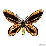orange butterfly with a black pattern on the wings of the symmet (id: 13876) vászonkép