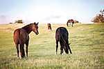 Partner Kollekció: Szabadon legelésző lovak (id: 17880) tapéta
