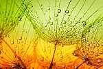 dandelion flower (id: 15381) többrészes vászonkép