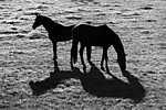 Két ló vagy négy? (id: 17884)