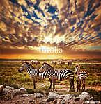 Zebrák állománya az afrikai savannal a naplementében. Safari a S (id: 12787)