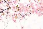 Cseresznyefa-virágzás (id: 17495)