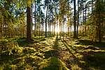 Napkelte a fenyveserdőben (id: 11497)