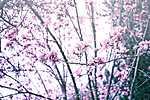 Partner Kollekció: Virágzó bokor (id: 17499) tapéta