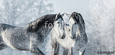 Two thoroughbred gray horses in winter forest., Premium Kollekció