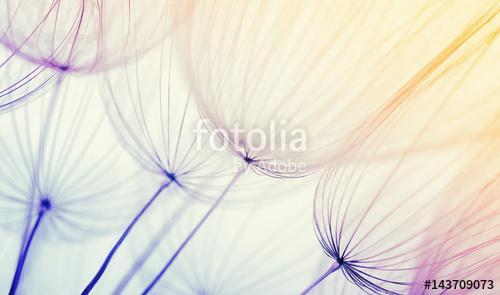 dandelion flower background, Premium Kollekció