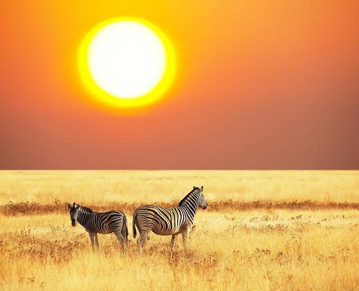 Zebrák a szavannán lenyugvó napnál,