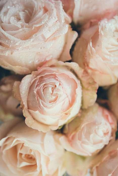 Beautiful fresh beige roses background, Premium Kollekció
