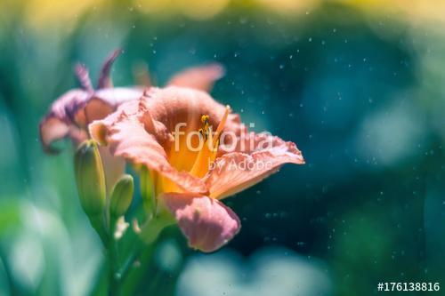 A lily flower in the rain on a multicolored background. Selectiv, Premium Kollekció