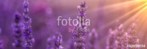 Lavender, Premium Kollekció