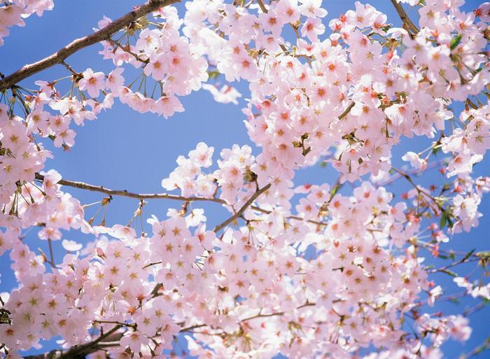Virágzó cseresznyefa,