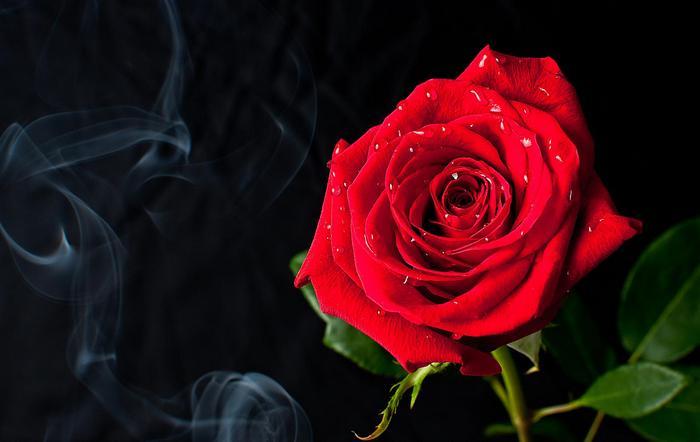 Vörös rózsa vízcseppekkel,