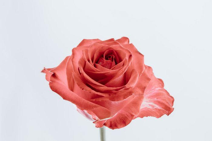 Rózsa, Partner Kollekció