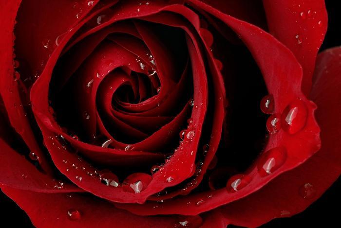 Vörös rózsa,