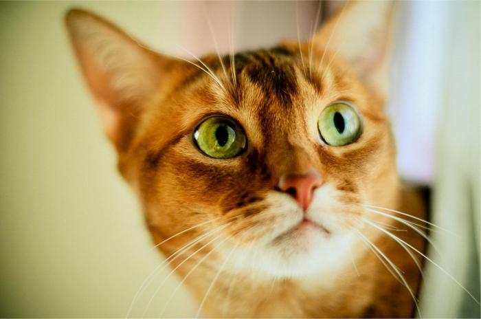 Vörös cica függöny mögül kukucskál,