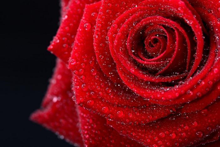 Vörös rózsa esőcseppekkel,