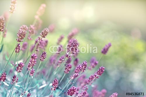 Lavender virág, Premium Kollekció