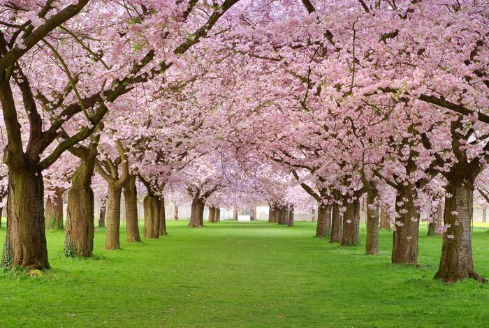 Virágba borult fák,