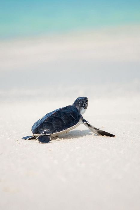 Baba-teknős, Maldív szigetek, Partner Kollekció