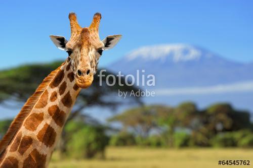 Zsiráf Kilimanjaro hegyén, Premium Kollekció