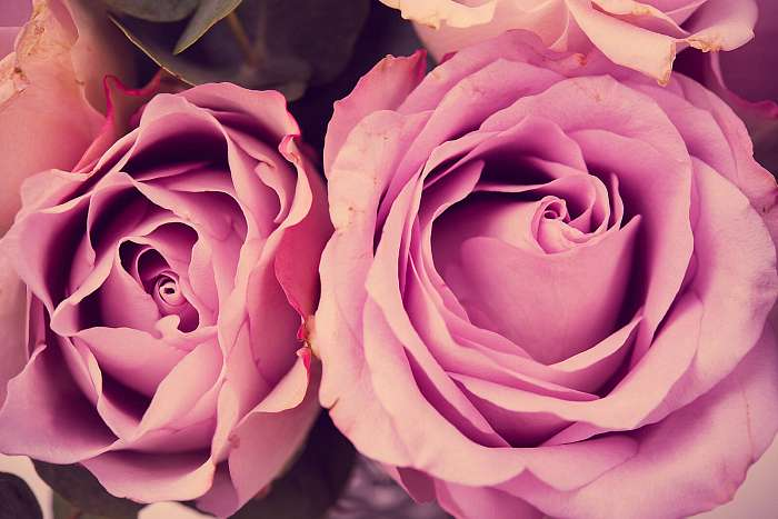 Fresh pink roses macro shot, summer flowers, vintage style, Premium Kollekció