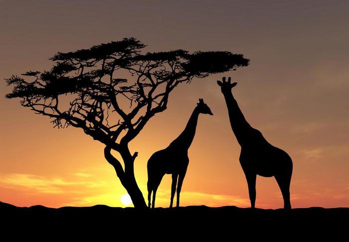 Zsiráfok naplementében,